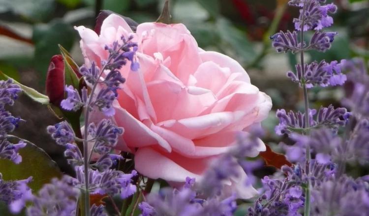 Лаванда и роза